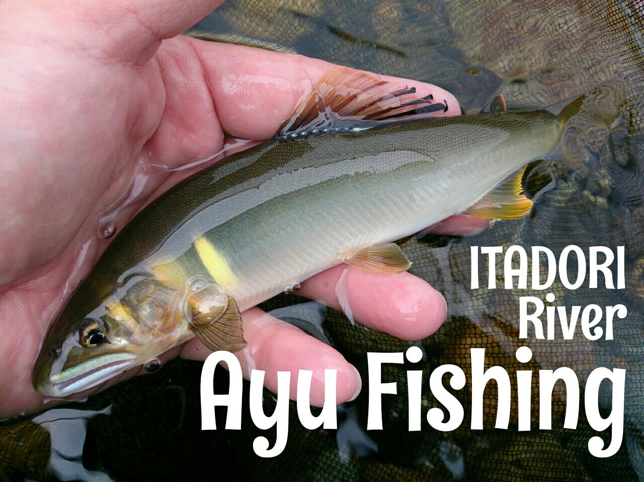 鮎,友釣り,鮎釣り,板取川,長良川